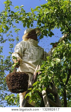 beekeeper holding a bee swarm, apiary, colony
