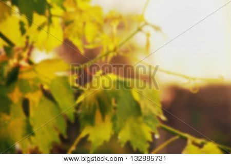 vineyard grape leaves and vines at sunset blurred