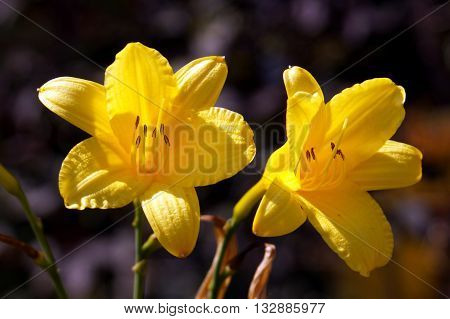 Two yellow flowers of lilies in the garden
