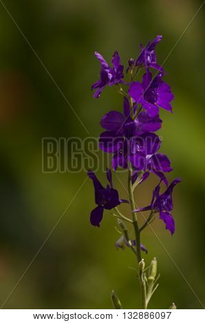 Wild purple flowers in summer fields lit by the sun