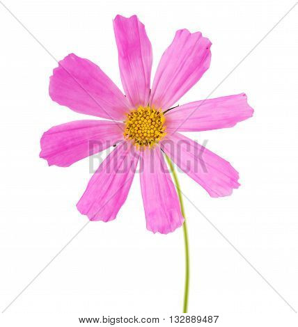 Pink Cosmea Rose. Beautiful Cosmos Flower isolated on white background