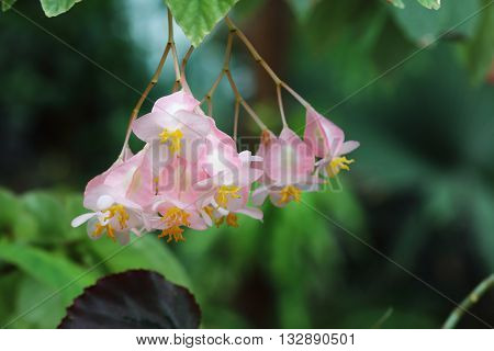 Beautiful pink flowers with yellow stamen in garden