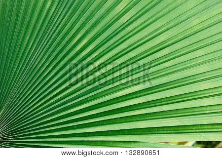 Texture of palm leaves green used background
