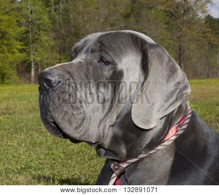 Great Dane with a gray coat on a grassy field