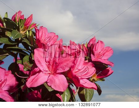 Bright pink azalea in bloom with clouds and sky behind