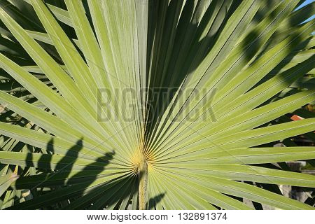 palm tree leaf, The Arecaceae are a botanical family of perennial lianas, shrubs, and trees commonly known as palm trees They are flowering plants