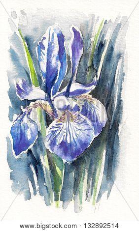 Blue iris flowers sibirica - original watercolor painting.