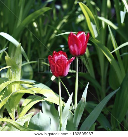Beautiful red tulip on the flowerbed in the garden in early spring