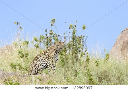 Leopard (Panthera pardus) sitting between grass with blue sky in background Serengeti national park Tanzania.