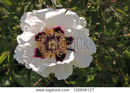 Moutan or Chinese tree peony (Paeonia suffruticosa) is a species of peony native to China. It is an important symbol in Chinese culture. Paeonia suffruticosa has a long history of being used as medicine in Chinese medicine.