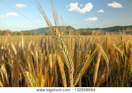 Field of barley on a bright sunny day
