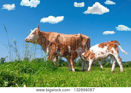 Cow feeding two calves in a field