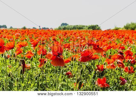 Cultivation Of Poppies.