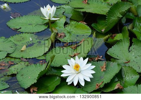 close up white color fresh lotus blossom or water lily flower blooming on pond background Nymphaeaceae