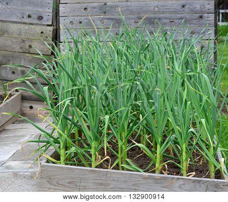 Spring garlic plant South Bohemia Czech Republic