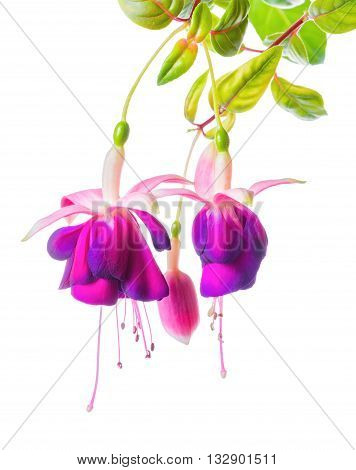 beautiful blooming branch of violet fuchsia flower is isolated on white background close up