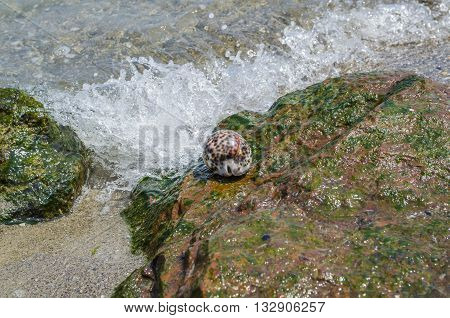 Shell Cypraea Tigris on a rock by the sea