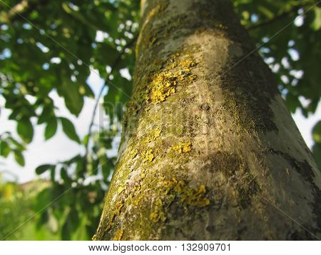 Walnut tree trunk with yellow moss fungus and lichens in the garden in Tuscay Italy