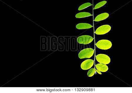 Moringa (Other names are Moringa oleifera Lam. MORINGACEAE Futaba kom hammer vegetable hum hum bug bug Hoo) leaf on black background