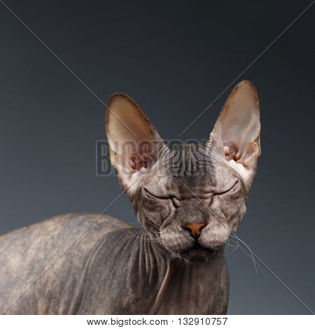 Closeup Portrait of Thinking Sphynx Cat on Dark Background