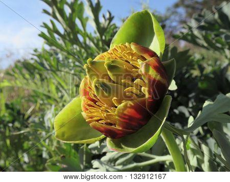 A Wild Western Peony (Peonia brownie) flowering