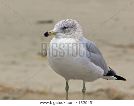 Seagull On The Beach Lft
