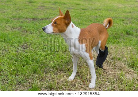 Basenji dog with broken bandaged hind feet having first outdoor stroll after the surgery