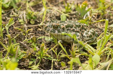 Green toad hiding in spring grass at sunny day