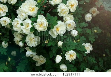Wild rose with white flowers in the sun