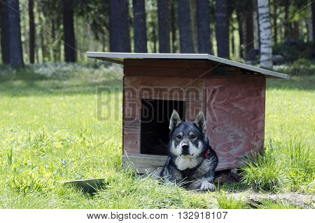 Swedish Moose hunting dog (jämthund) (Canis lupus familiaris) lying down in front of his dog house picture from the North of Sweden.