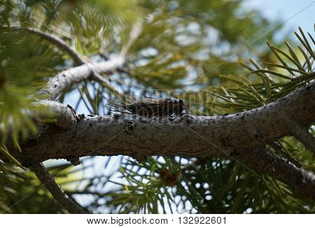 Cicada on a pine tree in Bryce Canyon, Utah, US