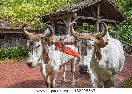 Costa Rican Ox towing a traditional coffee cart
