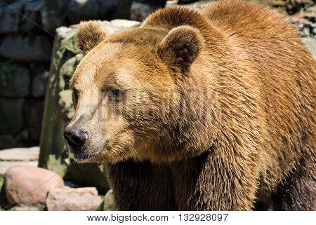A brown bear in Kaliningrad zoo at summer day