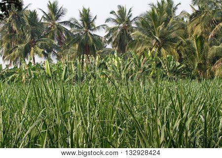 Banana plantation in Humpi city, India, Karnataka. Organic farm food productions