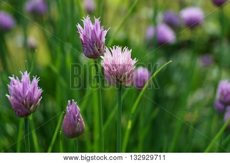 Purple Chive herb flowers in the garden