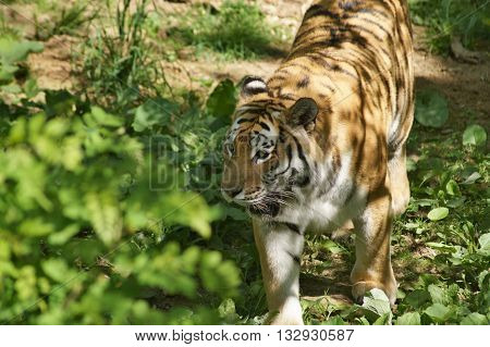 Amur tiger  passing through  the own territory