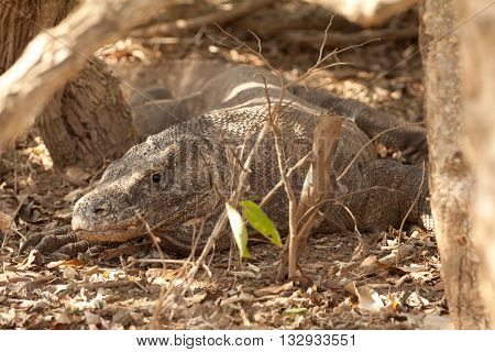 Komodo dragon is on the ground. Interesting perspective. The low point shooting. Indonesia. a An excellent illustration.