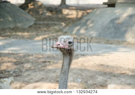 Ostrich Bird And Neck In The Park