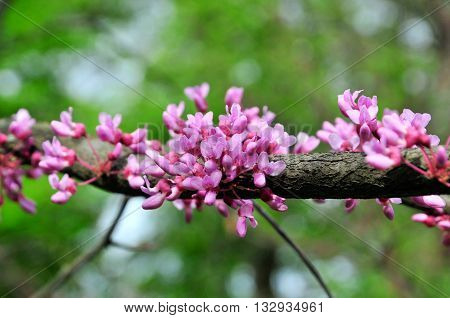 Cercis European, or European Tsertsis, or Judas tree (lat Cercis siliquastrum.) - Trees or shrubs, species of the genus Cercis the legume family (Fabaceae).
