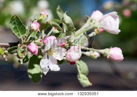 White-pink flower of an apple-tree close up. Small depth of sharpness indistinct background.