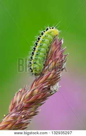 Zygaena Filipendulae Caterpillar