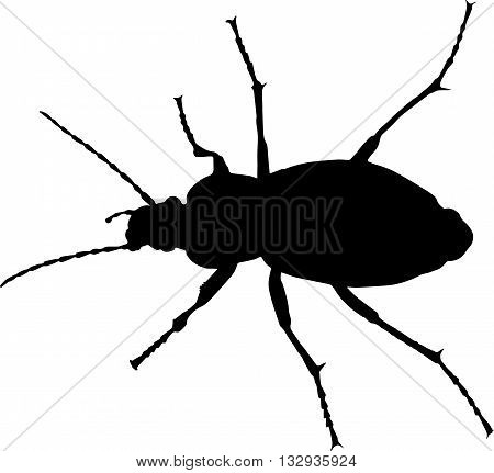 Ground beetle (Carabus granulatus) vector silhoette on white background