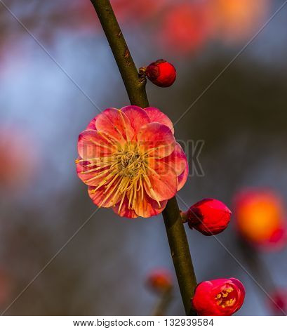 Plum Blossom West Lake Jiangsu Province China.