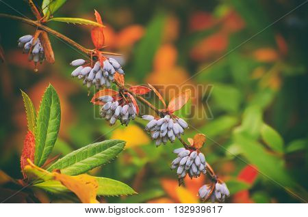 Barberry blue fruits in the colorful autumn park, natural seasonal fall background
