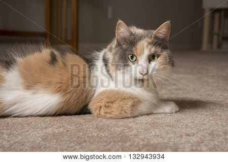 An adult domesticated muted calico cat laying on carpet.