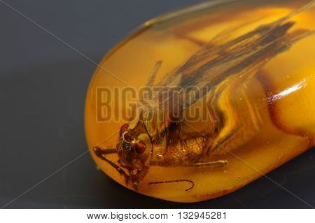 Macro photo of a grasshopper in amber from the Baltic Sea.