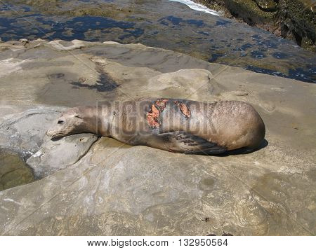 Large shark-bite wound, likely from great white shark on body of California sea lion laying on rocks by La Jolla, California