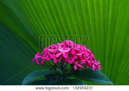 The pink West Indian Jasmine (Scientific name : Ixora chinensis Lamk).