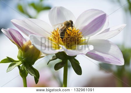 A bee visiting a Brooks Entice Dahlia flowers. Using very shallow focusing on the bee and the centre of the flower head.