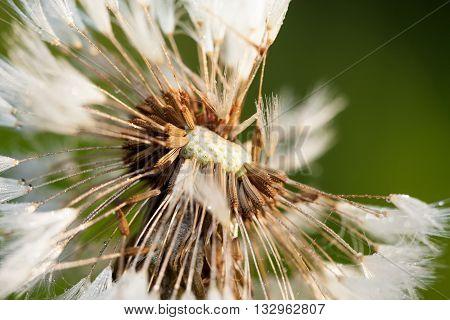 white wet fluffy dandelion macro close up